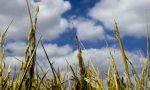 Pannocchia di riso: aperte le candidature
