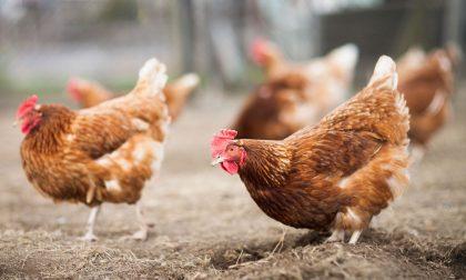 Ladri di galline a processo
