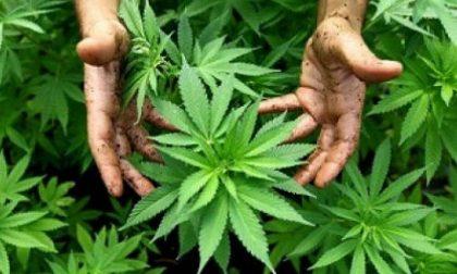 Produceva marijuana bio e preservativi alla cannabis