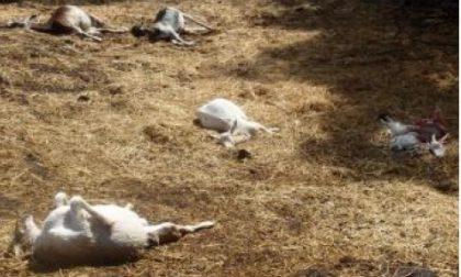 Strage di caprette tibetane in un parco
