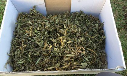 Arrestato ad Alessandria 32enne che coltivava Cannabis