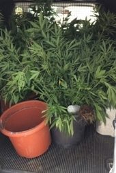Piante di marijuana nel bagagliaio: tre arresti