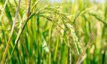 """Violenze in Birmania, Coldiretti: """"Sospendere le agevolazioni per l'import di riso"""""""