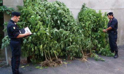 PIEMONTE: Migliaia di piante di marijuana in un parco pubblico