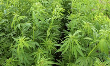 PIEMONTE: Nel 2017 sequestrata una tonnellata di marijuana