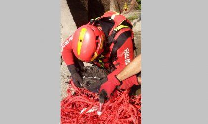 Cigno nero salvato dai vigili del fuoco