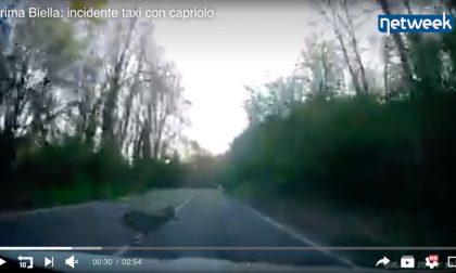 Traffico intenso a Biella, taxi investe un capriolo – video