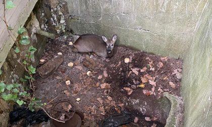 Femmina di capriolo cade in una cisterna, salvata e rimessa in libertà