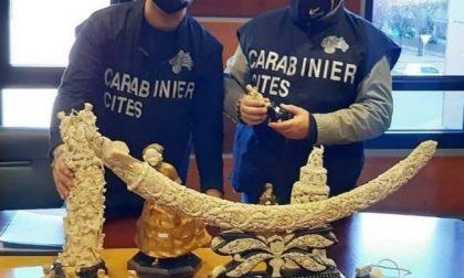 Traffico d'avorio: coinvolta anche la provincia di Vercelli