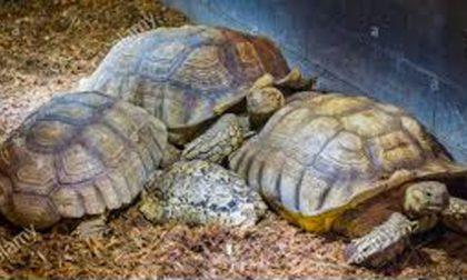 Venti tartarughe da traslocare per lo scolmatore di Trino
