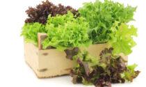 Notizia Oggi Vercelli vi regala i semi di lattuga