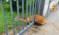 Borgosesia: capriolo soccorso e liberato dai Vigili del Fuoco