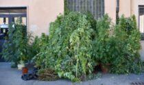 Una piantagione di marijuana in giardino: sequestrate 48 piante