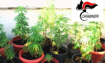 Tronzanese nei guai per coltivazione di cannabis